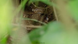 The pic of the king cobra eating another cobra was shared on Twitter by IFS officer Parveen Kaswan.